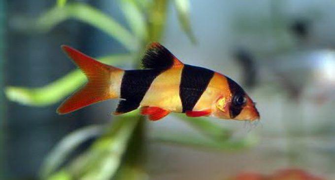 Ikan Botia Primadona Ekspor Dari Sumsel