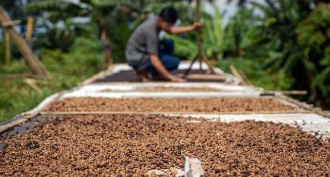 Menuju Muruah Sumsel Sebagai Eksportir Kopi Terbesar, Tak Hanya Produksi